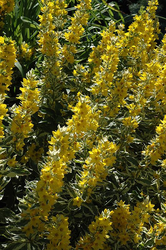 Golden Alexander Loosestrife Lysimachia Punctata Golden