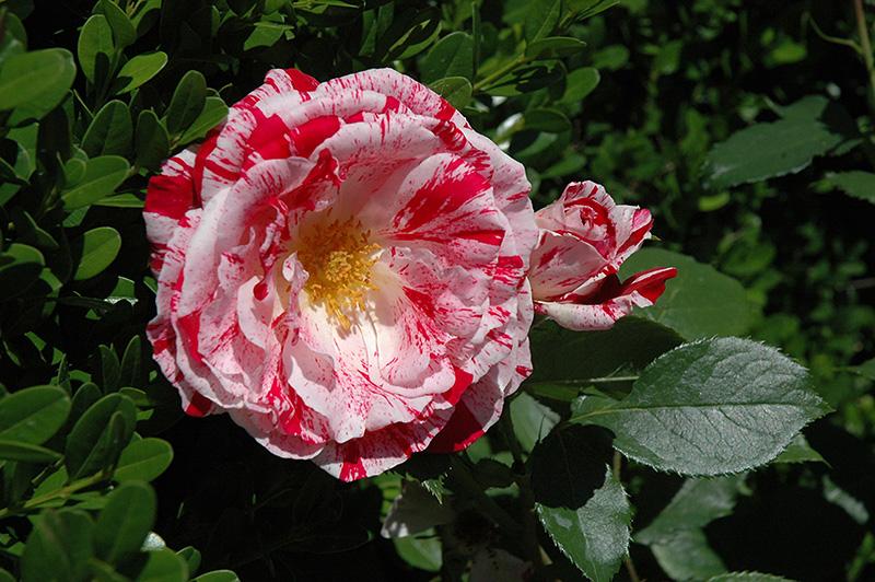 Scentimental Rose Rosa Scentimental In Crystal Lake