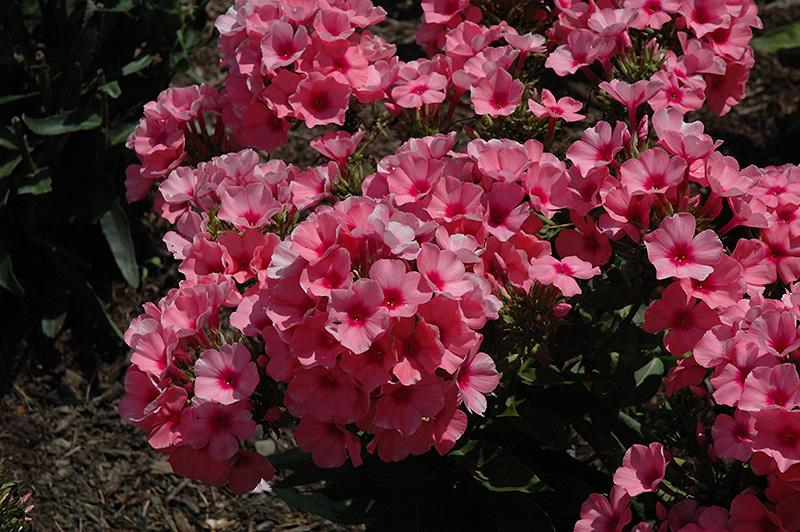 Light Pink Flame Garden Phlox Phlox Paniculata Bareleven