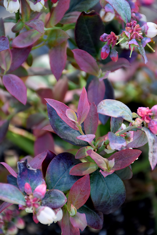Pink Icing 174 Blueberry Vaccinium Zf06 079 In Crystal