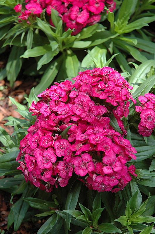 Barbarini Rose Sweet William Dianthus Barbatus Barbarini
