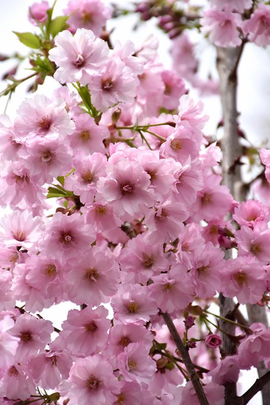 First Blush 174 Flowering Cherry Prunus Jfs Kw14 In
