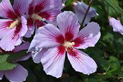 Orchid Satin 174 Rose Of Sharon Hibiscus Syriacus Ilvo347